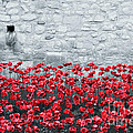 Pete Edmunds - Tower Poppies 02B
