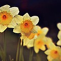 Anne Macdonald - Trail Of Daffodils