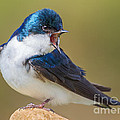 Jerry Fornarotto - Tree Swallow Squawking