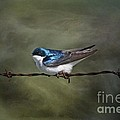 Vickie Emms - Tree Swallow