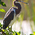 Mr Bennett Kent - Tricolored Heron in the...