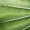 Joseph Duba - Tropical Leaf No.1 2009...