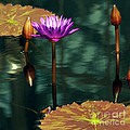 Byron Varvarigos - Tropical Waterlily...