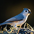 Dawna  Moore Photography - Tufted Titmouse...