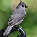 Kathy Baccari - Tufted Titmouse
