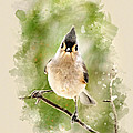 Christina Rollo - Tufted Titmouse -...