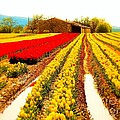 Flow Fitzgerald - Tulips field in Provence...