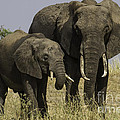 Chris Scroggins - Two African Elephants