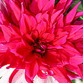 Christiane Schulze Art And Photography - Two Colored Dahlia