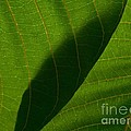 Tim Good - Two Green Leaves...