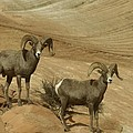 Jeff  Swan - Two Male Rams At Zion