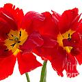 Ann Garrett - Two Red Tulips 2
