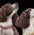 Linsey Williams - Two spaniels