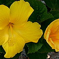 Kay Gilley - Two Yellow Hibiscus