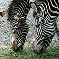 Ilana Graf - Two zebras in Berlin zoo