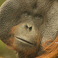 Jill Mitchell - Unhappy Male Orangutan