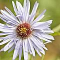 Kathryn Whitaker - Vermont Aster