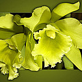 Phyllis Denton - Very Green Orchids
