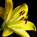 Phyllis Denton - Very Yellow Lily