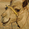 Colette Hera  Guggenheim - Very Young Camel in...