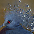 Tony Beck - Victoria Crowned Pigeon