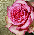 Inspired Nature Photography By Shelley Myke - Vintage Beauty Rose