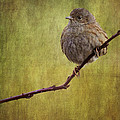 Chris Smith - Vintage Style Dunnock