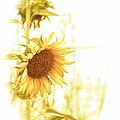 Christie Morgans - VIntage Sunflowers in...