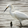 David Cutts - Wading Egret
