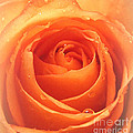 Sweet Moments Photography                  - Warmth of a Rose