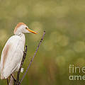 David Cutts - Watchful Cattle Egret
