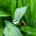 Jane Ford - Water droplet on grass