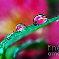Kaye Menner - Water Droplets in magenta