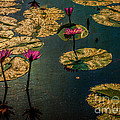 Remi D Photography - Water lilies at Sunset