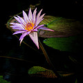 Greg Kluempers - Water Lilly Square IMG...