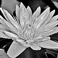 Kim Bemis - Water Lily - Black and...