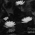 Jayne Carney - Water Lily in Black and...