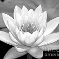 Sabrina L Ryan - Water Lily in Black and...