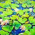 Colleen Kammerer - Water Lily Pond