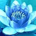 Margaret Newcomb - Waterlily Blue 2