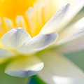 Priya Ghose - Waterlily Dreams 9