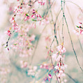Jessica Jenney - Weeping Cherry Blossoms