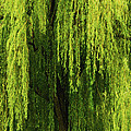 Carol F Austin - Weeping Willow Tree...