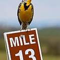 Karon Melillo DeVega - Western Meadowlark on...