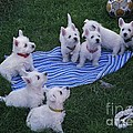Photography Moments - Sandi - Westie Puppies - West...