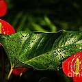 Craig Wood - Wet Anthurium