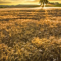 Debra and Dave Vanderlaan - Wheat Fields of...