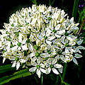 Rumyana Whitcher - White Allium