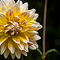 Gene Sherrill - White and Yellow Dahlia
