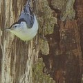 Rory Cubel - White Breasted Nuthatch...